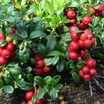 брусника - ягода, нужная человеку